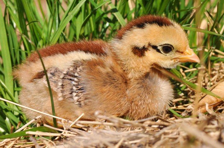PH_GFF_chick1
